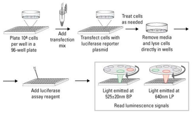 Protocol summary for the <em>Renilla</em>-Firefly Dual Luciferase Assay Kit