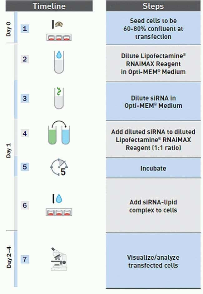 Lipofectamine® RNAiMAX Transfection Workflow