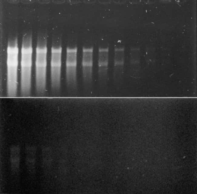 Comparison of glyoxalated RNA stained with ethidium bromide and with the SYBR® Gold Nucleic Acid Gel Stain.