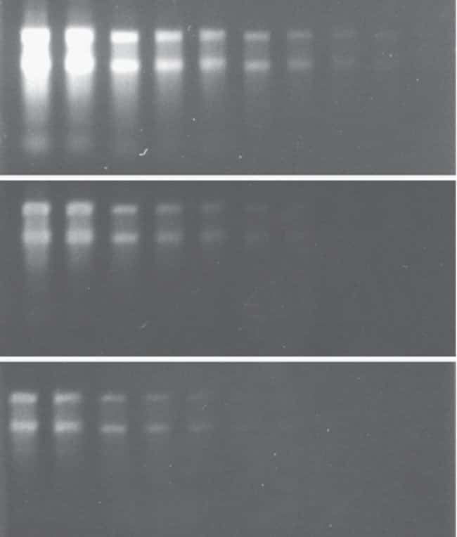 Comparison of RNA detection in nondenaturing gels using SYBR® Green II RNA gel stain and ethidium bromide. Identical twofold dilutions of Escherichia coli ribosomal RNA were electrophoresed on 1% agar