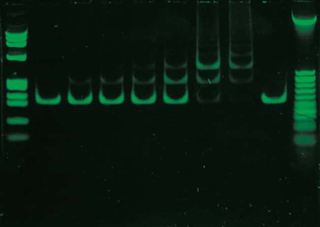 Electrophoretic bandshift assay using SYBR® Green I Nucleic Acid Gel Stain.
