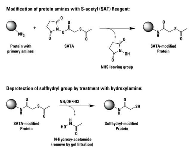 Reaction and modification scheme for NHS-activated S-acetyl reagents