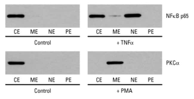 Western blot analysis of protein translocation