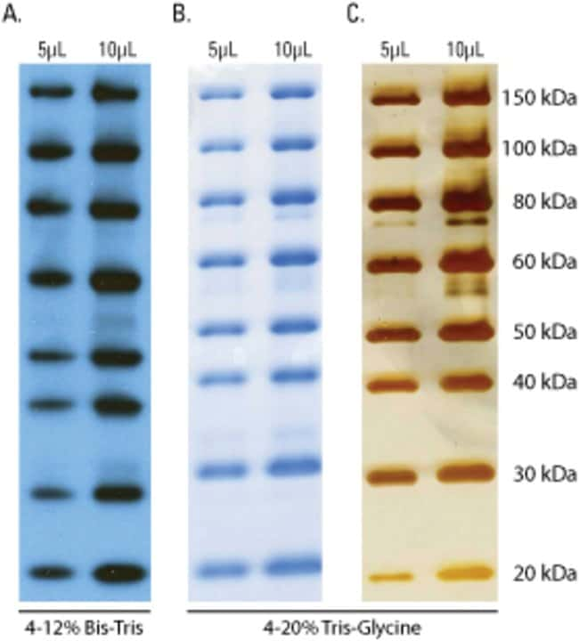 SuperSignal Enhanced Molecular Weight Protein Ladders were separated by electrophoresis and detected by Western blotting and in-gel protein stains. (A.</strong>) For Western blot detection, the Protei