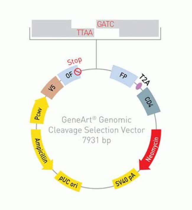 GeneArt® Genomic Cleavage Selection vector map