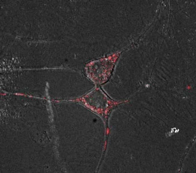 Live cell imaging with CellLight™ reagents in neurons.