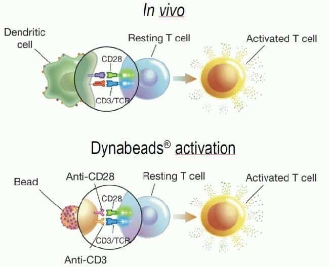 The product mimics in vivo T cell activation from antigen-presenting cells (above) by utilizing the two activation signals CD3 and CD28, bound to a three-dimensional bead similar in size to the antigen-presenting cells (below).