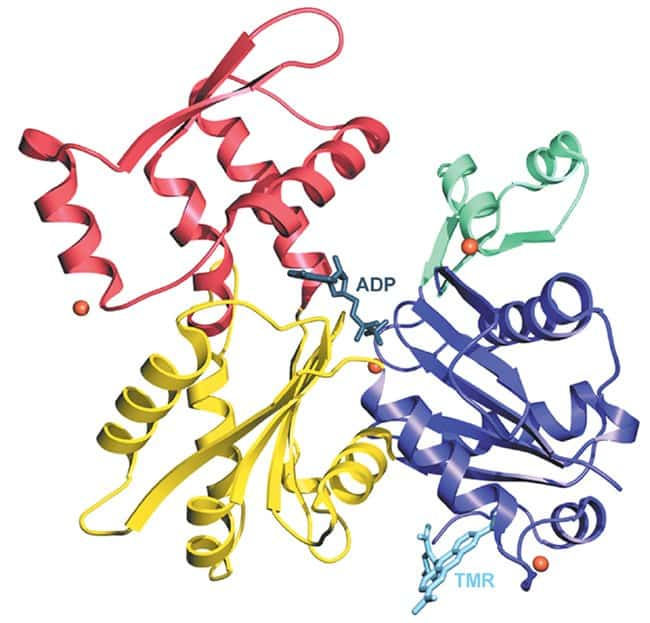 Ribbon diagram of the structure of uncomplexed actin in the ADP state. The four subdomains are represented in different colors, and ADP is bound at the center where the four subdomains meet. Four Ca2+