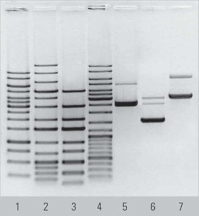 Separation of Thermo Scientific DNA Ladders and plasmid DNA in Agarose, prepared using TopVision Agarose Tablets