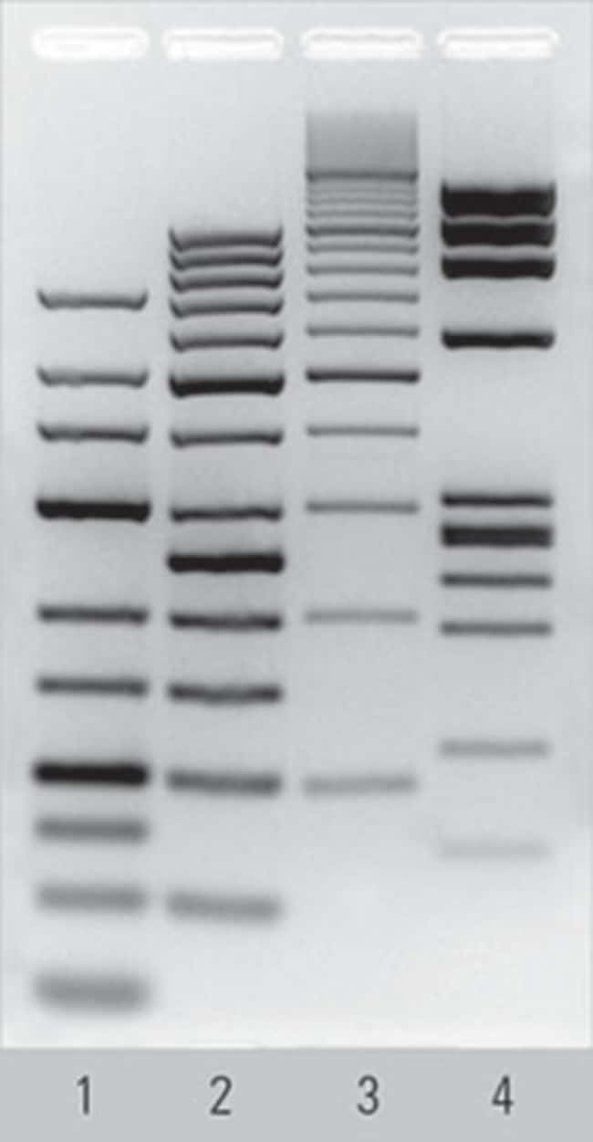 Separation of Thermo Scientific DNA Ladders in Agarose, prepared using TopVision Agarose Tablets
