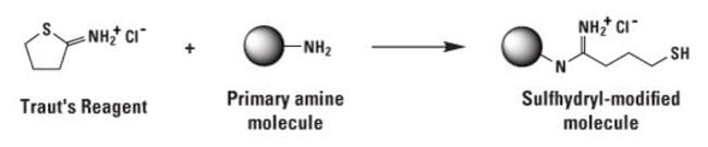 Reaction scheme of Traut's Reagent (2-iminothiolane)