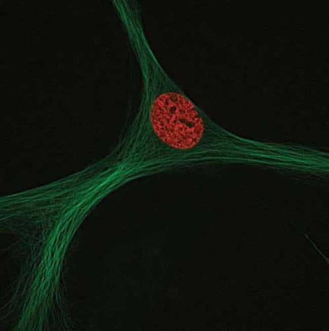 Human mesenchymal stem cells transduced with CellLight™ Tubulin-GFP (Cat. No. C10613) and CellLight™ Histone 2B-RFP (Cat. No. C10595). Live-cell imaging was performed using a DeltaVision® Core microsc