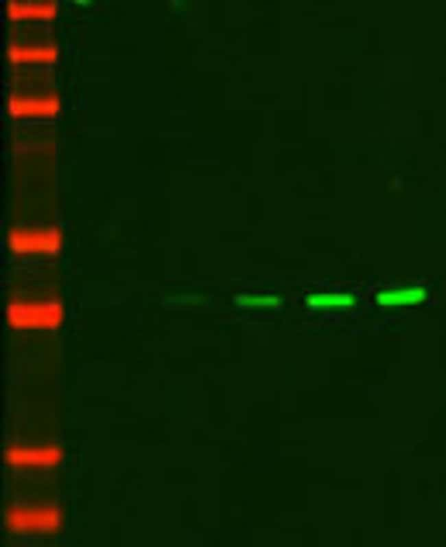 Serial dilutions of A562 cell lysates were analyzed by Western blotting for levels of ERK1 using a mouse anti-ERK1 primary antibody and a goat anti-mouse secondary antibody conjugated to DyLight 755 (
