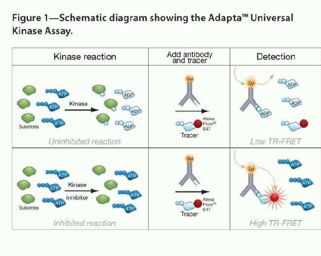 Schematic Diagram Showing the Adapta™ Universal Kinase Assay