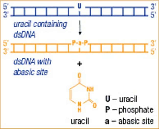 Uracil-DNA Glycosylase activity
