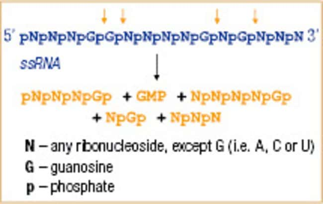 RNase T1 activity