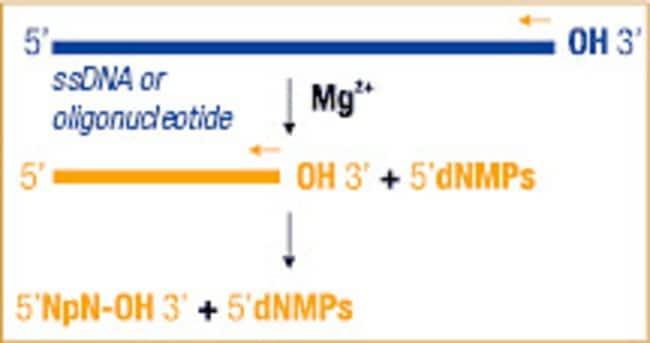 Exonuclease I activity