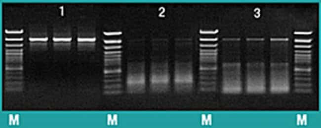 Specific amplification with Maxima Hot Start <em>Taq</em> DNA Polymerase