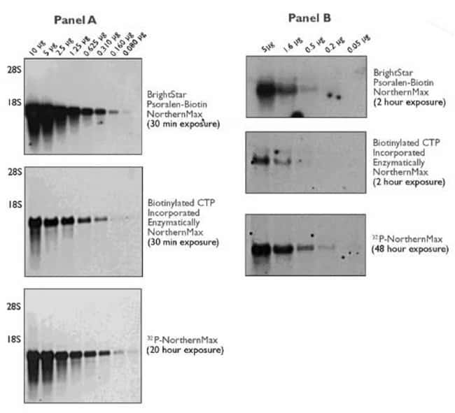 Sensitivity of Psoralen-Biotin, Enzymatic Biotin and 32P-labeled Probes in a Northern Blot