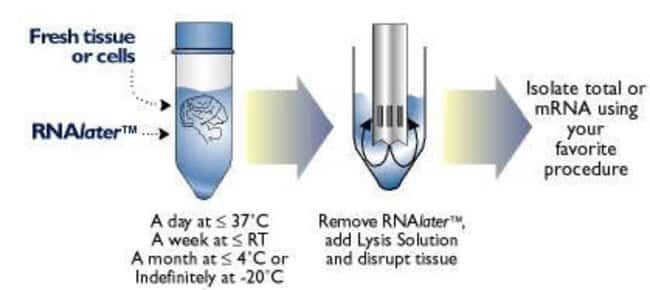 Schematic of RNAlater™ procedure.