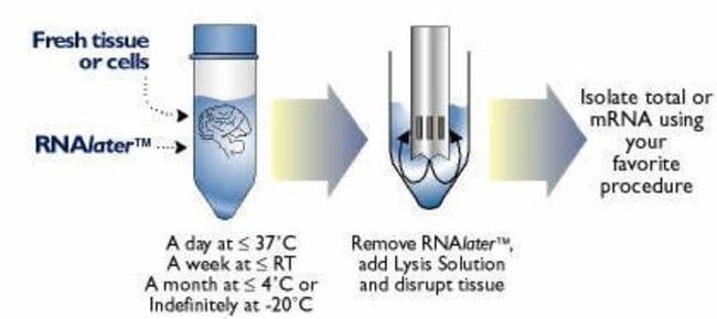 Schematic of RNAlater™ procedure.