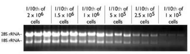 Total RNA isolated from K562 leukemic cells using the RNAqueous™-96 Kit.