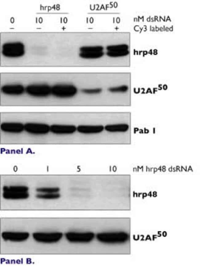 Silencing of Drosophila hrp48 and U2AF50 Protein by dsRNA
