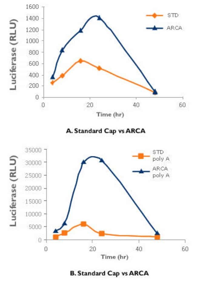 Transcripts containing ARCA are more highly translated in transfected cells.