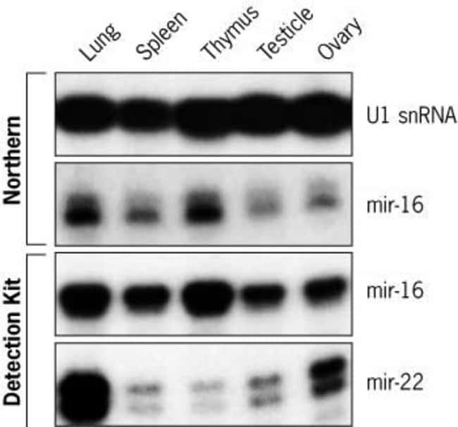miR-16 and miR-22 Expression in Mouse Tissues