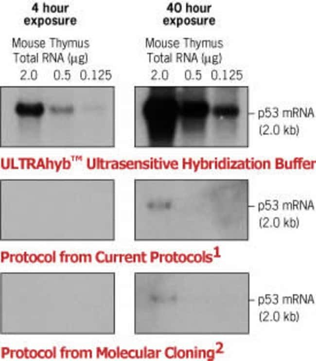 Duplicate Northern blots were prepared using mouse thymus total RNA. Each blot was hybridized with a DNA probe to p53 at a concentration of 1 x 10e6 cpm probe/ml hybridization solution. Incubation and