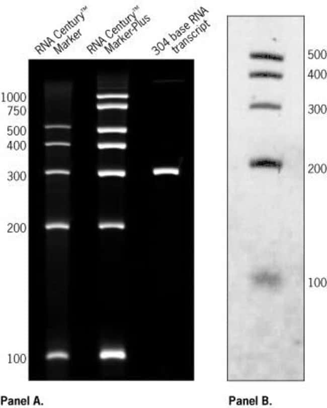 (A) 2 µg of RNA Century Markers and RNA Century Markers-Plus along with an RNA transcript were electrophoresed on an 8 M urea/5% PAGE gel and stained with ethidium bromide.  (B) 10 pg of BrightS