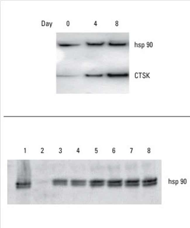 Researcher generated data using the Fast Western Blot Kit, ECL Substrate