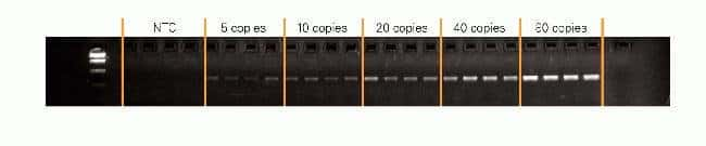 Figure 4. Sensitivity of AmpliTaq® 360 DNA Polymerase for Detection of Low Copy Targets.