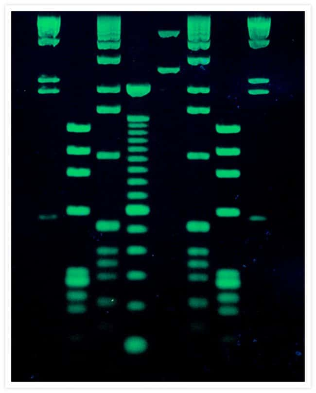 DNA molecular weight ladders stained with SYBR® Green I Nucleic Acid Gel Stain.