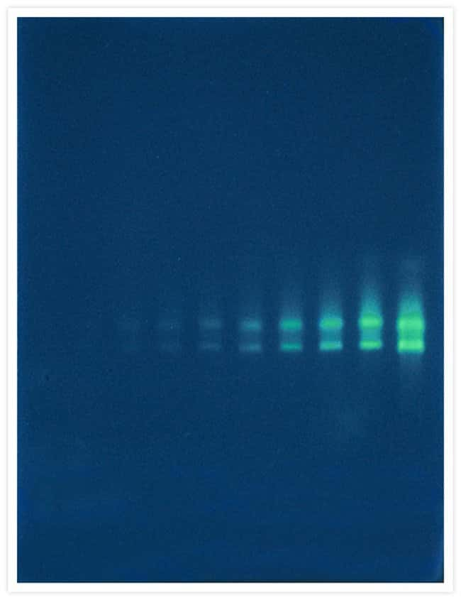 A twofold dilution series of <i>Escherichia coli</i> 16S and 23S ribosomal RNA (rRNA) that has been electrophoresed on a nondenaturing 1% agarose gel and then stained with our SYBR® Green II RNA gel s