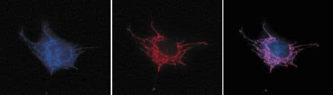 Live bovine pulmonary artery endothelial cells (BPAEC) loaded with red-fluorescent MitoTracker Red CMXRos (M7512), fixed and permeabilized (middle). After fixation and permeabilization, the cells were