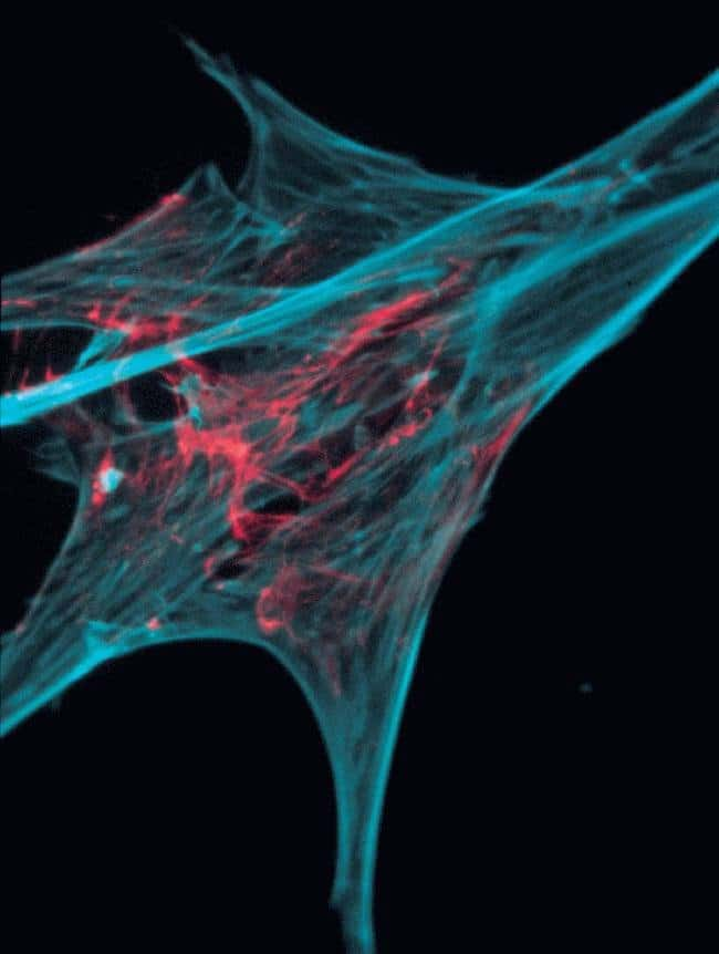 Chick embryo fibroblasts. Actin from rabbit muscle, Alexa Fluor 568 conjugate and coumarin phallacidin.