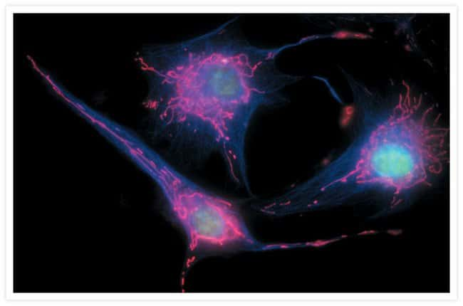 Bovine pulmonary endothelial cells incubated with the fixable, mitochondrion-selective MitoTracker® Red CMXRos (Cat. no. M7512). The cells were then formaldehyde-fixed, acetone-permeabilized and count