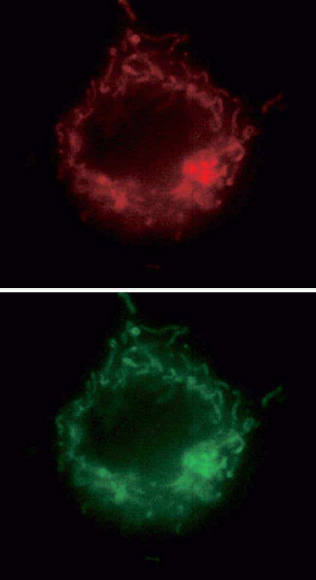 Images of an NIH 3T3 cell showing colocalization of the CoroNa™ Red sodium indicator with MitoTracker® Green FM.