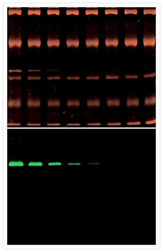 Zymographic detection of ß-D-glucuronidase activity.