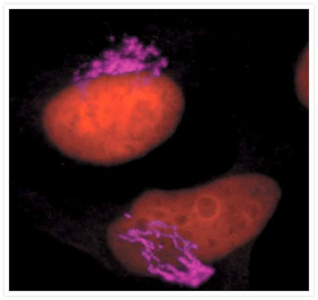 Immunofluorescent Staining using Mouse anti-Golgin-97 Monoclonal Antibody.