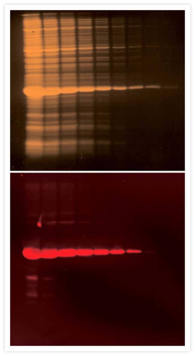 Detection of an oligohistidine fusion protein with the Penta·His mouse monoclonal antibody.