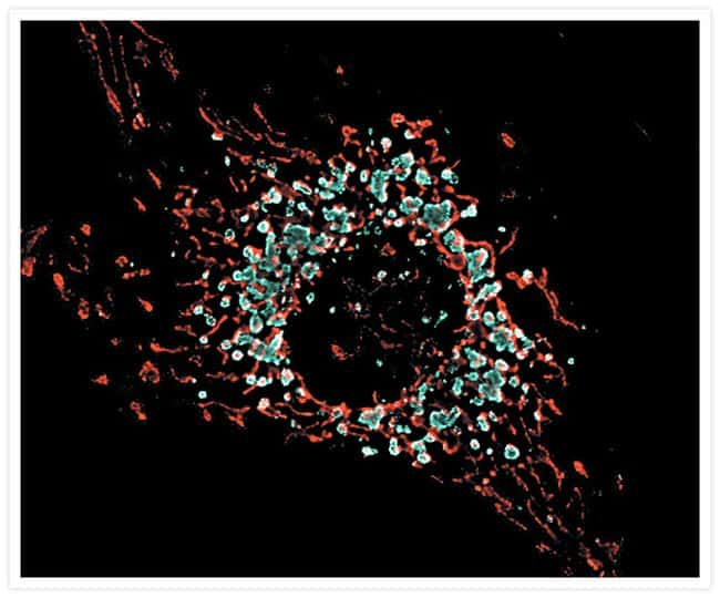 Live bovine pulmonary artery endothelial cells (BPAEC) stained simultaneously with 50 nM LysoTracker® Blue-White DPX (Cat. no. L12490), a Dapoxyl® derivative, and 100 nM MitoTracker® CMXRos (Cat. no.