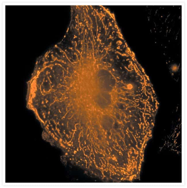 Live bovine pulmonary artery endothelial cell stained with X-rhod-1, AM.