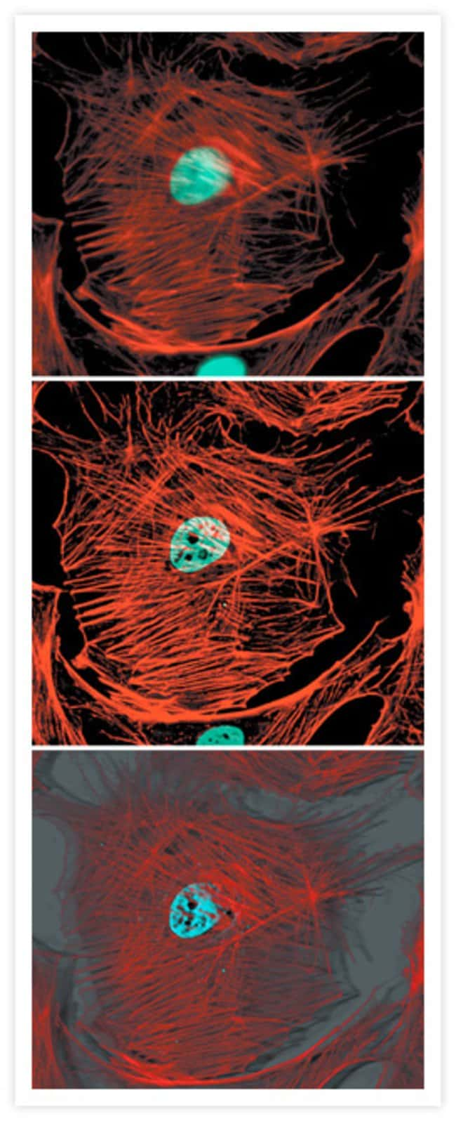 Fixed, permeabilized bovine pulmonary artery endothelial cells labeled with Texas Red®-X phalloidin.