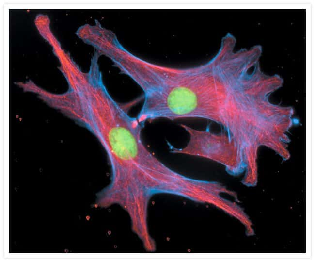 Bovine pulmonary artery endothelial cells stained with Alexa Fluor® 350 phalloidin, an anti–a-tubulin antibody and the anti–cdc6 peptide antibody.