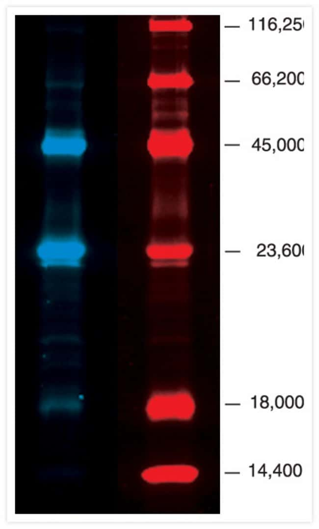 PeppermintStick phosphoprotein molecular weight standards separated on a 13% SDS polyacrylamide gel.