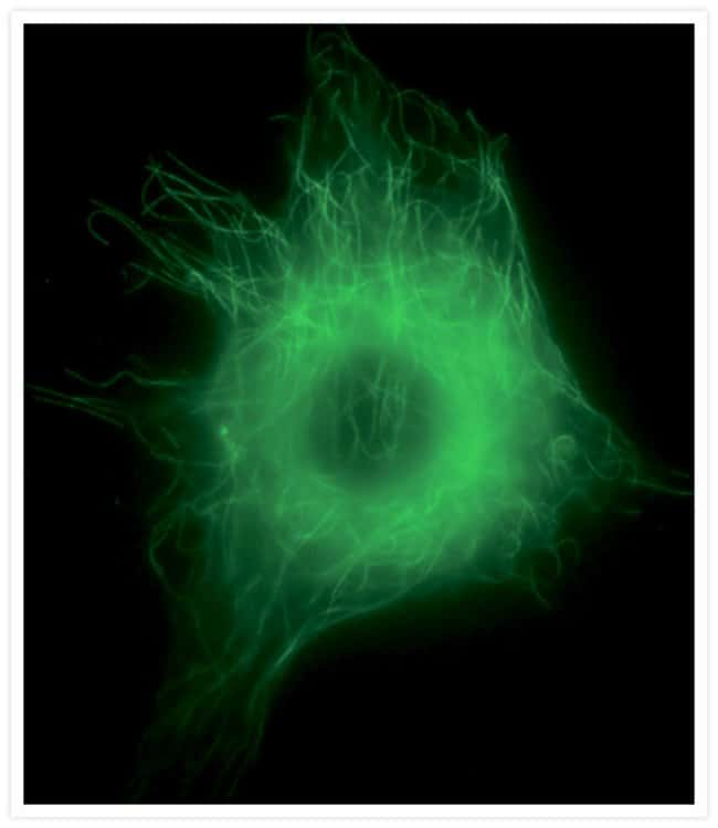 Microtubules in a live bovine pulmonary artery endothelial cell visualized with Oregon Green® paclitaxel (Cat. no. P22310).