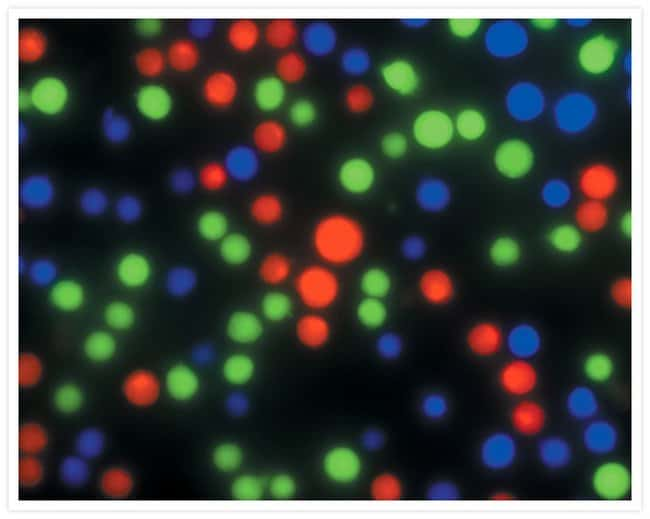 Jurkat cells incubated with either green-fluorescent calcein AM, CellTrace™ calcein red-orange AM or calcein blue AM.