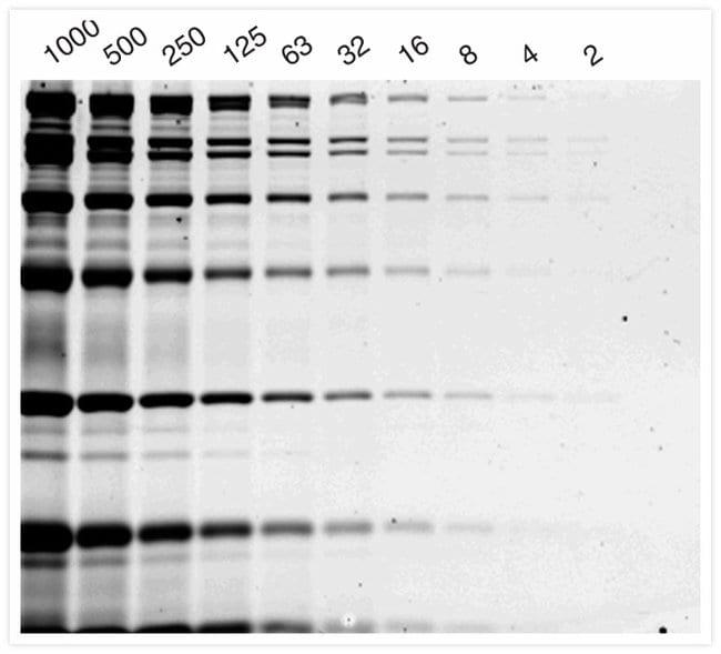 Protein molecular weight standards stained with Coomassie Fluor™ Orange protein gel stain.